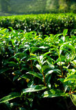 Tea tree farming on hill Stock Images