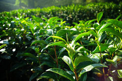 Tea tree farming on hill Royalty Free Stock Photos