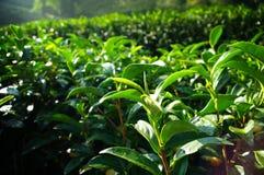 Tea tree farming on hill Royalty Free Stock Photos