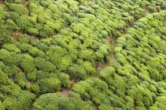 Tea Tree Field Stock Photo