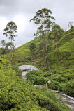 Tea Tree Field Stock Images