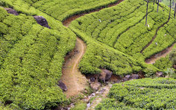 Tea Tree Field Royalty Free Stock Photos