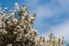 Tea tree flowers Royalty Free Stock Photos