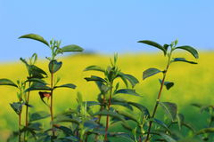 Tea tree. Formerly known as: tea, Latin name: Camellia sinensis (l.) o. Ktze., Camellia, Camellia shrubs or small trees, twigs glabrous.Leaves leathery, oblong Royalty Free Stock Image