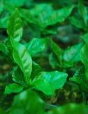Tea Tree. Green tea tree is yong tea tree Stock Photography