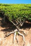 Tea tree at plantation. India, Munnar Royalty Free Stock Photography