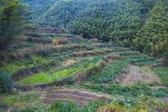 A tea tree planted on a hillside. A tea tree planted on a hille in huangshan, anhui province Royalty Free Stock Photography
