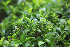 Tea tree Stock Images