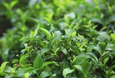 Tea tree Stock Images