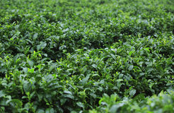 Tea tree plants Royalty Free Stock Image