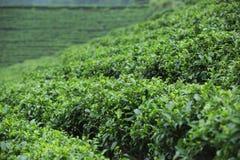 Tea tree plants Royalty Free Stock Photos