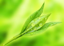 Tea tree (Thea sinensis). The leaves have been used in alternative medicine and other medical systems to treat asthma, angina pectoris, peripheral vascular Royalty Free Stock Images