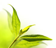 Tea tree (Thea sinensis). Royalty Free Stock Photo