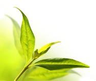 Tea tree (Thea sinensis). Royalty Free Stock Photo