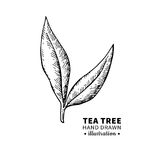 Tea tree vector drawing. Isolated vintage illustration of medical plant leaves on branch. Royalty Free Stock Photo