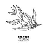Tea tree vector drawing. Isolated vintage illustration of medical plant leaves on branch. Royalty Free Stock Images