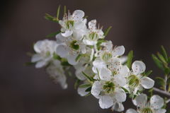 Tea Tree White Flowers Royalty Free Stock Image