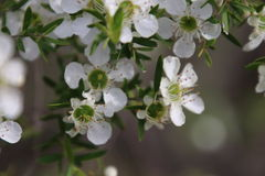 Tea Tree White Flowers Royalty Free Stock Images