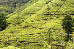 Tea trees on the plantations Stock Photography