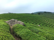 Tea trees on the top of mountain Royalty Free Stock Image