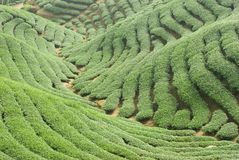 Tea trees in valley Stock Image
