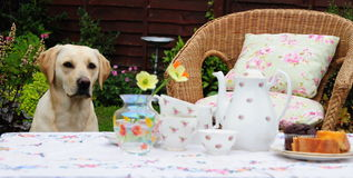 Tea for two. Shot of a table set for tea and a cute labrador waiting patiently. focus is on the dog Royalty Free Stock Image