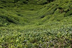 Tea Valley Stock Images