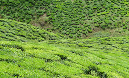 Tea valley. Bharat Tea Valley, Cameron Highlands Stock Photo