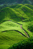 Tea Valley,Cameron Highlands Stock Photos