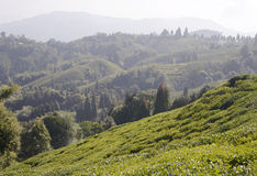 Tea Valley Royalty Free Stock Photos