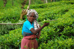 Tea Worker At The Plantation. Ceylon tea is known all over the world for its taste and flavor. Only Tamil women work at the plantations in Sri Lanka. Taken in Royalty Free Stock Photos