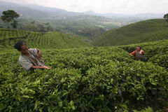 Tea. Workers picking tea leaves at tea plantation in the village Kemuning, Karanganyar, Central Java, Indonesia Royalty Free Stock Image