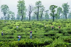 Tea workers working at santanekhola tea estate near dooars west bengal india