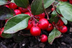 Teaberry Gaultheria procumbens Stock Images
