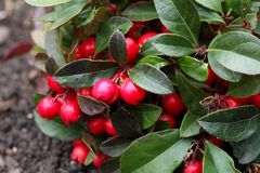 Teaberry Gaultheria procumbens royalty free stock images