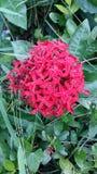 Teacher merit flowers bright red flowers smell sweet taste. Royalty Free Stock Photo