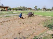 Teacher was teaching buffalo plowing Royalty Free Stock Photos