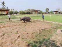 Teacher was teaching buffalo plowing Stock Image