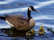Teaching to swim Stock Image