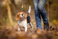 Teaching Your Dog to Walk on a Leash. Beagle Royalty Free Stock Photos