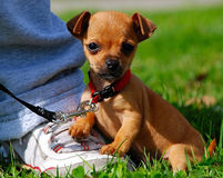 Teacup Chihuahua 2. Puppy Teacup Chihuahua out for its first walk Royalty Free Stock Photos