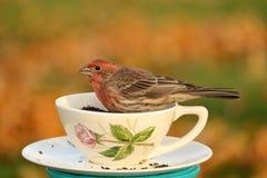 Teacup Finch Zdjęcia Stock