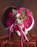 Teacup long hair chihuahua in box Stock Image