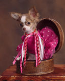 Teacup long hair chihuahua in box Royalty Free Stock Images
