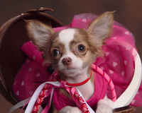 Teacup long hair chihuahua in box Stock Photo