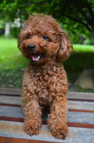 Teacup Poodle Sitting on Bench. Smiling Royalty Free Stock Photography