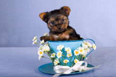 Teacup Yorkie puppy. Teacup Yorkshire terrier puppy sitting inside large blue cup with flowers royalty free stock images