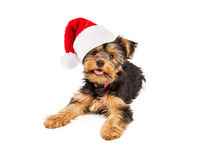 Teacup Yorkie Wearing Santa Hat Stock Photos