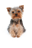 Teacup-Yorkshire-Terrier Lizenzfreies Stockfoto