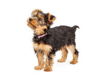 Teacup Yorkshire Terrier Profile Royalty Free Stock Images